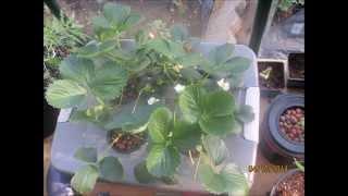 getlinkyoutube.com-Greenhouse Strawberry Hydroponics- No Power- Easy Hydroponics