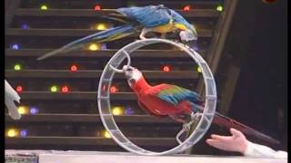 getlinkyoutube.com-Trained parrots