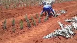 """plantando muda de abacaxi """"ZULI"""" o veloz de jaragu"""