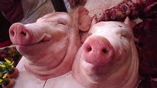 getlinkyoutube.com-Pra pessoa amada voltar e nunca mais te largar - Com Cabeça de Porco.