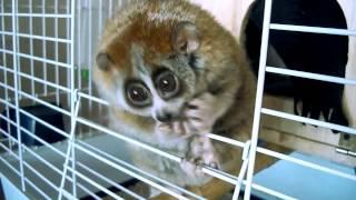 getlinkyoutube.com-Лемуры - самые милые животные в мире!