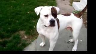 getlinkyoutube.com-American Bulldog