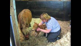 getlinkyoutube.com-Le plus petit cheval miniature ranch BBSM