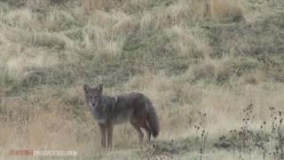 "getlinkyoutube.com-Eastern Oregon Coyote Hunting ""Two Generations"" -Flatlined Predators"