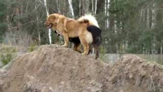 getlinkyoutube.com-Mastif Tybetański i Hovawart