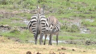 getlinkyoutube.com-Kenya Amboseli National Park Ennio 2013