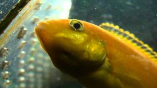 getlinkyoutube.com-electric yellow lab cichlid holding eggs in her mouth