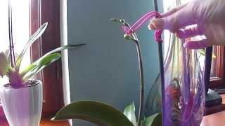 getlinkyoutube.com-Как закрепить цветонос орхидеи и не сломать его. Мой метод.