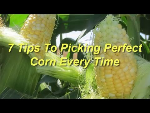 7 Tips To Picking Perfect Corn Every Time