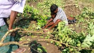 getlinkyoutube.com-guava tree grafting