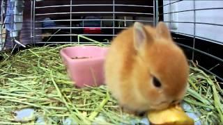 getlinkyoutube.com-Cute bunny Rabbit eating an apple Part.1 Netherland Dwarf