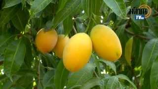 getlinkyoutube.com-สวนมะยงชิด สวนน้ำทิพท์ ตอน 1 /เส้นทางเศรษฐี-มติชนข่าวค่ำ