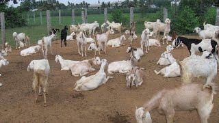 getlinkyoutube.com-A true story profitable goat farm