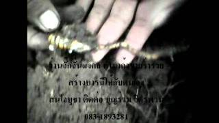 getlinkyoutube.com-ว่านจั๊กจั่น มงคล ทำมาค้าขายร่ำรวย