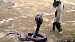getlinkyoutube.com-Cat Vs Cobra | Cat Tiger Attack King Cobra Real Fight | Tiger Attack Cobra Snake To Death