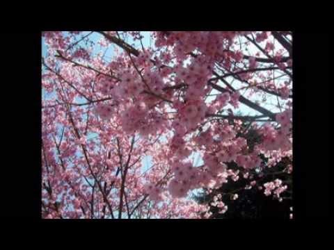 Sakura: la japonesa flor del Cerezo