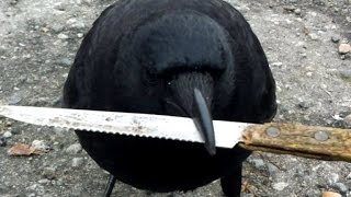 Crafty Crow Flies Away After Stealing Knife From Crime Scene