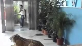 getlinkyoutube.com-실제 호랑이 몰래카메라