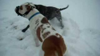 getlinkyoutube.com-Cane Corso vs.American Bulldog