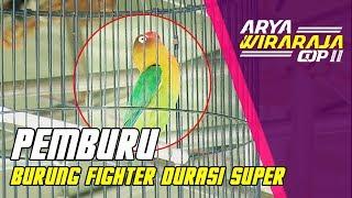 [PANJANG ISTIMEWAH] Lovebird PEMBURU Tampil Pertama Kalinya di Arya Wiraraja Cup II