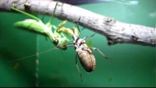 getlinkyoutube.com-thelope.com - praying mantis vs. squash bug