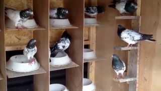 getlinkyoutube.com-Pakistan pigeon 2015 for sale usa -
