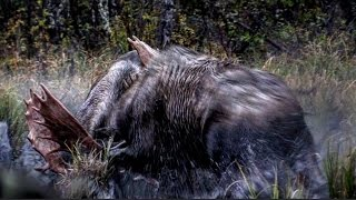 "getlinkyoutube.com-""Prize Fighters"" - Part 2- An epic Moose Hunt in the wilds of British Columbia"