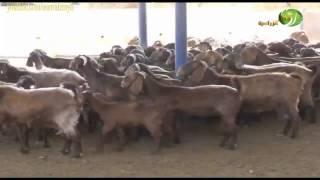 مشروع تربية الماعز الدمشقي المميزات والتغذية والرعاية البيطرية والجدي البري