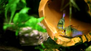 getlinkyoutube.com-La aventura de la acuariofilia (Cría de Apistograma ramirezi)