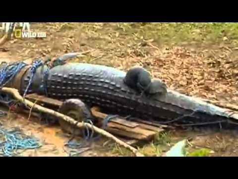 Documental El cocodrilo gigante de filipinas