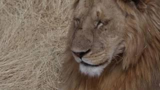 getlinkyoutube.com-Tarangire Manyara Ngorongoro