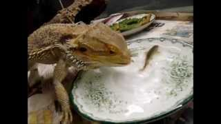 Bearded dragon eating fish