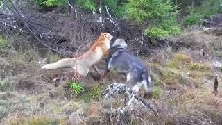 getlinkyoutube.com-A Wild Fox And A Dog Met In The Woods...Next Is Going To Melt Your Heart