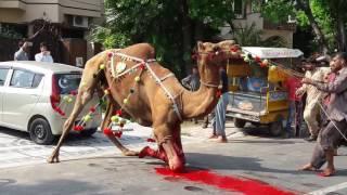getlinkyoutube.com-Fantastic camel qurbani wapdatown