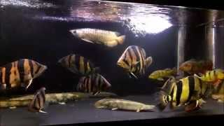 getlinkyoutube.com-Siamese Tiger Fish 混泳水槽 ダトニオ アロワナ アイスポット arowana datnioides