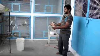 getlinkyoutube.com-Taming African Lovebirds And Cocktiels -Harish Feather Farms