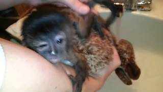 getlinkyoutube.com-Baby monkey's first bath is adorable!