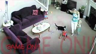 Кот впрягается за ребёнка Cat harness for a child