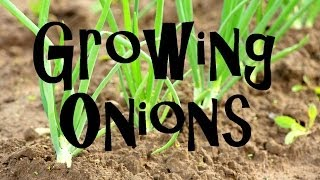 getlinkyoutube.com-How to Plant, Grow, & Harvest Onions from Start to Finish