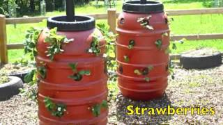 getlinkyoutube.com-Growing plants in a barrel