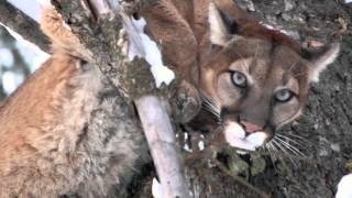getlinkyoutube.com-2016 Idaho Mountain Lion hunt!