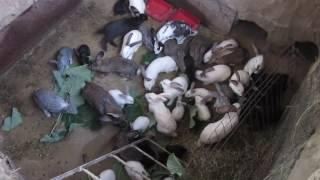 getlinkyoutube.com-Кролики в яме 2016 июнь 28 ЛИЧНЫЙ ОПЫТ!!!