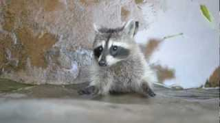 Raccoon Trying To Climb The Wall