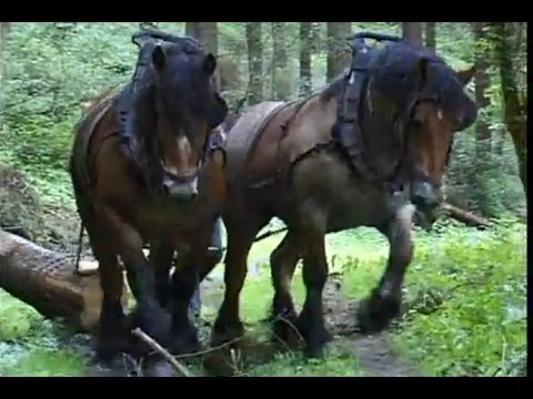 Strong Belgian Draft Horses-Horses Moving Logs