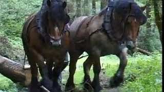 getlinkyoutube.com-Strong Belgian Draft Horses-Horses Moving Logs