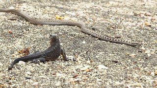 Iguane VS serpents : tension maximale - ZAPPING SAUVAGE width=