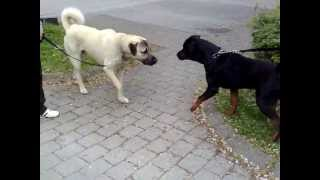 getlinkyoutube.com-Rottweiler vs. Kangal  -Dangerous Meeting-