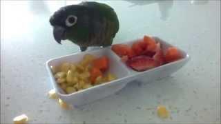 getlinkyoutube.com-Fussy the Green Cheek Conure eating