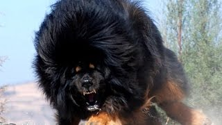 getlinkyoutube.com-Top 10 Biggest Guard Dogs In The World