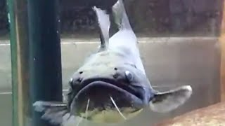 getlinkyoutube.com-大嘴鯨vs黃金泰國鯽(Asterophysus Batrachus   vs Barbodes schwanenfeldii)